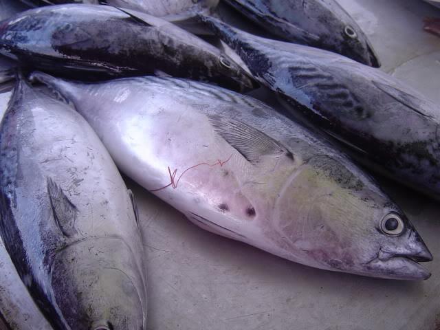 Banyak yang bilang kalau mengolah atau memasak ikan tongkol itu susah
